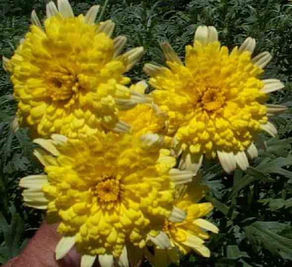 Argyranthemum frutescens 'Double Yellow'