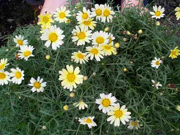 Argyranthemum frutescens 'Single Yellow'