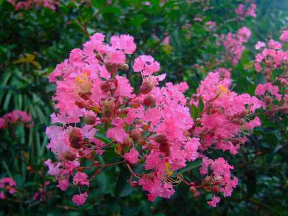 Lagerstroemia indica 'Little Chief'